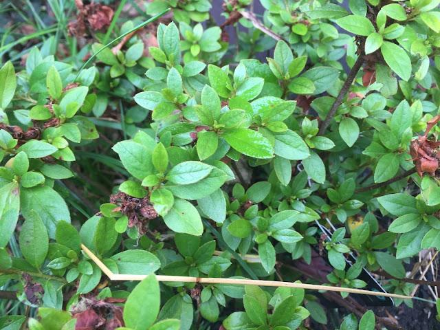 azalea in garden