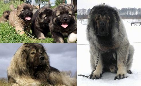 Kafkas Çoban Köpeğinin Özellikleri Nelerdir?