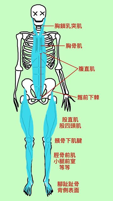 好痛痛 解剖列車 淺前線 胸鎖乳突肌 胸骨肌 腹直肌 股四頭肌 股直肌 脛骨前室