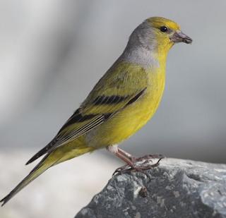 Download mp3 suara burung Citril finch