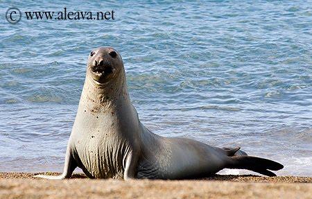 Elefante marino de Península Valdés Patagonia Argentina