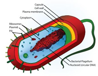 Dalam pelajaran biologi ada materi yang membahas perihal basil Bentuk/Morfologi dan Struktur Bakteri