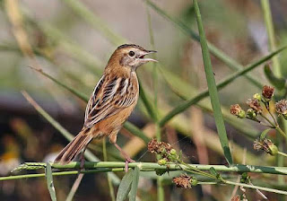 Burung Ciblek - Jenis Burung Ciblek Prinia Crinigera - Penangkaran Burung Ciblek
