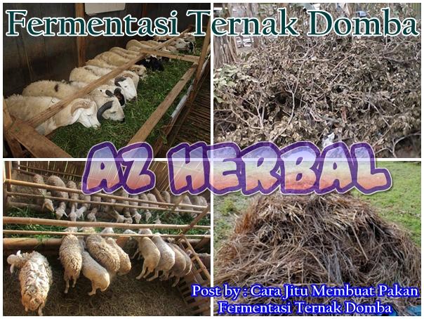 Cara Jitu Membuat Pakan Fermentasi Ternak Domba