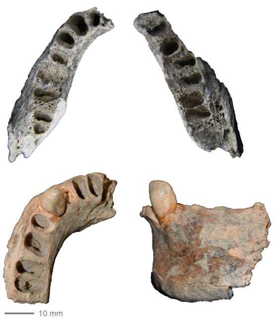 Late Pleistocene human mandibles from Borneo's Niah Caves may hint at ancient diets