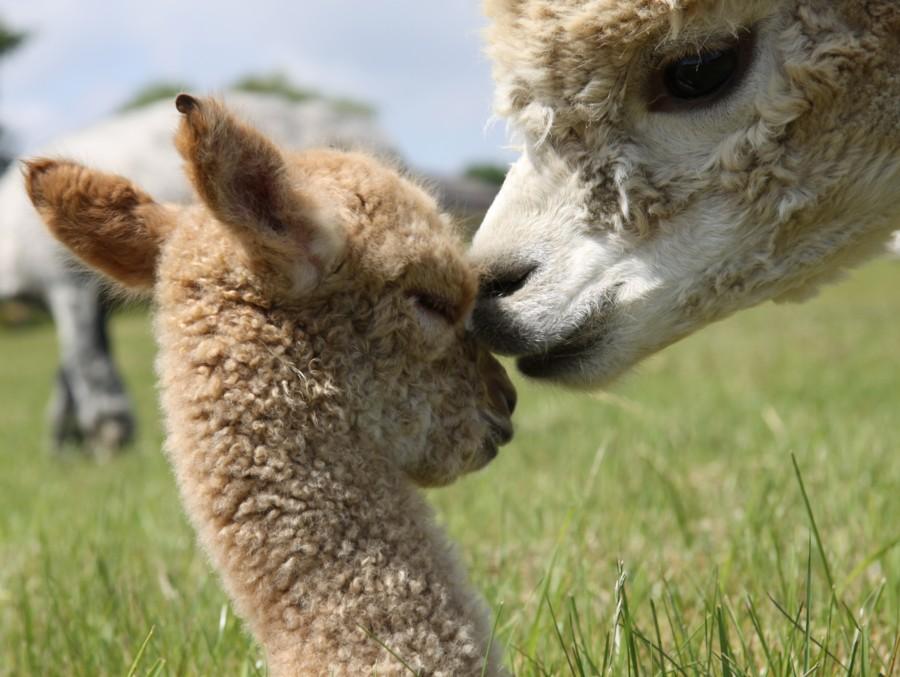 Alpaka Baby Süß