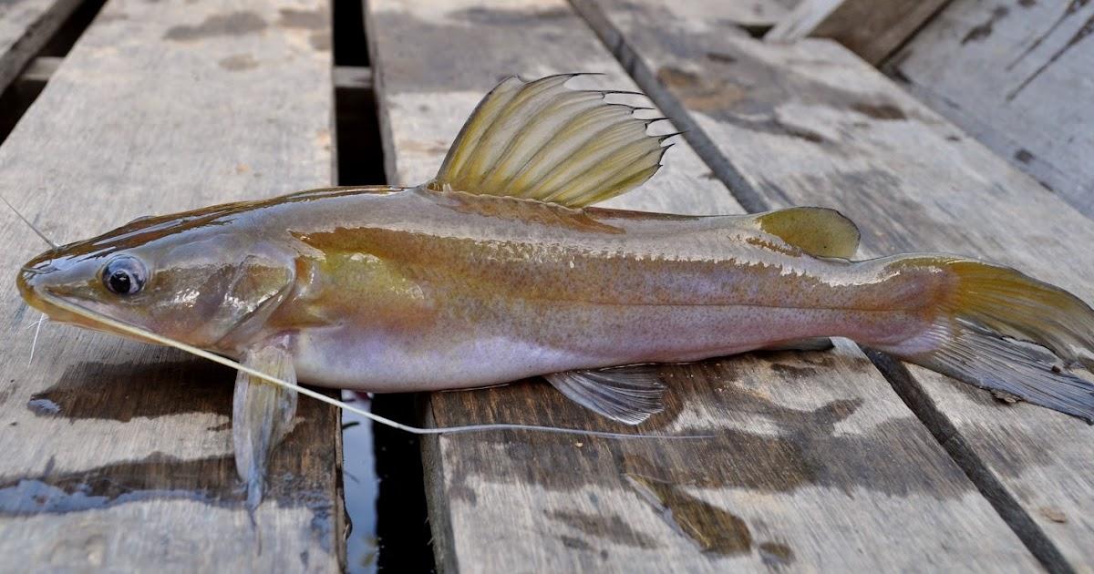 Image result for ikan baung