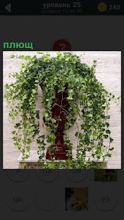 около стены стоит ваза в которой растет и расползается плющ