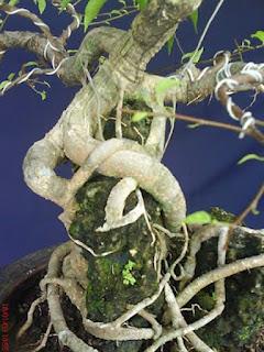 Akar pembelit tumbuhan - berbagaireviews.com