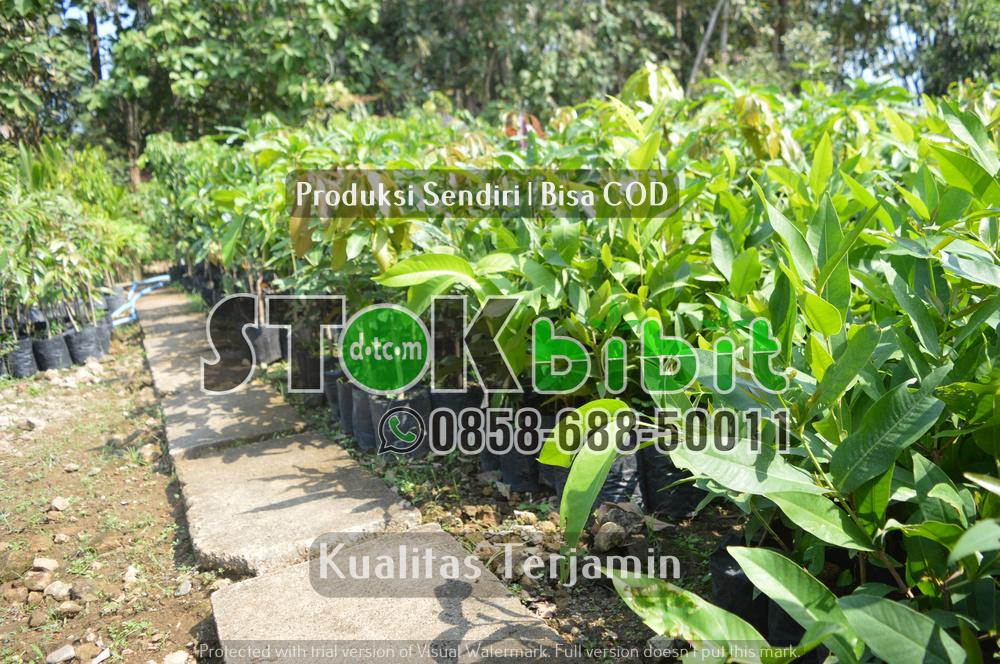 Durian Musangking Kaki 4 Yang Memiliki Keunggulan Sangat Istimewa       Lengkap     berkualitas
