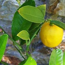 Jeruk Nipis Cara Cepat Diet Alami dan Sehat