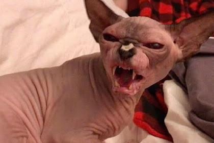 Reaksi Kucing Sphynx Saat Tidak Mau Ada Manusia Mendekatinya
