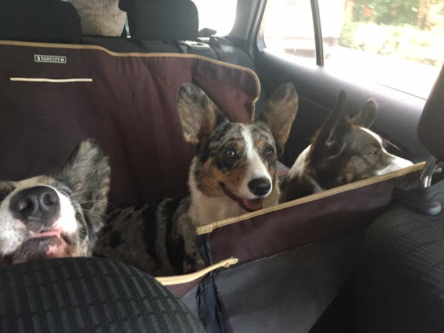 podróże z psem, w podróży z psem, wakacje z psem, welsh corgi, welsh corgi cardigan, cardigan, w samochodzie z psem, bezpieczna podróż z psem, jak przewozić psa w samochodzie