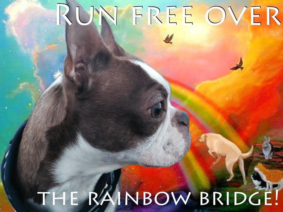 Northeast Boston Terrier Rescue  Dobby Goes to the Rainbow Bridge 6e1245e944a9
