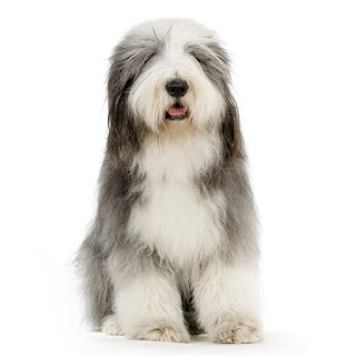 Everything about your Bearded Collie