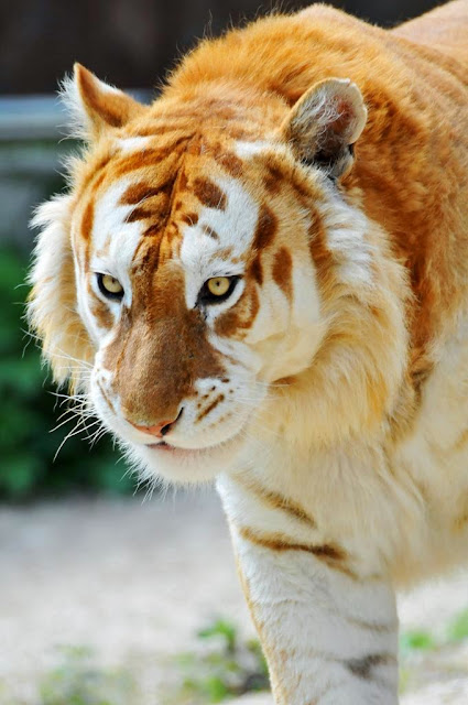 http://www.bioorbis.org/2014/03/o-tigre-dourado.html
