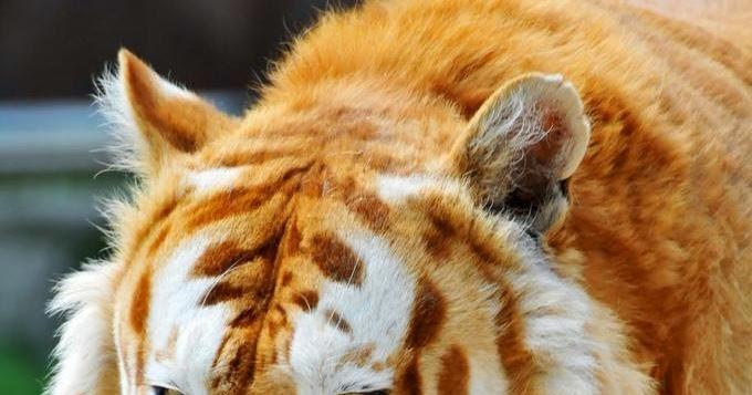 Tem Na Web - A beleza única do tigre dourado