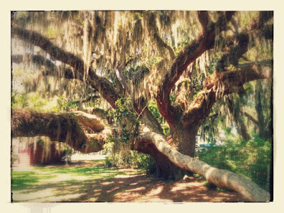 Large oak with spanish moss and long limbs.