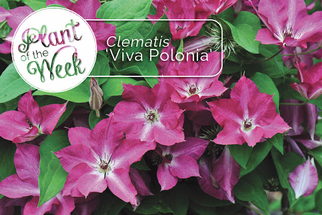 Plant of the Week: 'Viva Polonia' clematis
