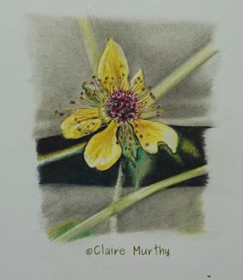 british wildlife artist flower in coloured pencils