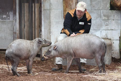 Babirusa with a keeper at the Toronto Zoo.