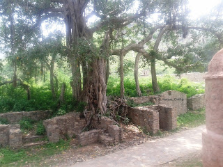 Banyan tree at Bhangarh Ruins