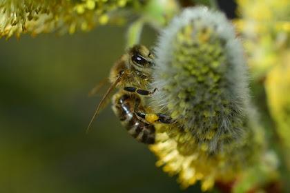 27 Fakta & Informasi Menarik Tentang Lebah madu yang Mungkin Belum Kamu Ketahui