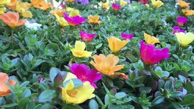 Plantas de verano. Portulaca umbraticola cultivada. Su origen y su nombre