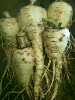 Half Long Guernsey Parsnips - if we can grow them for the first time, so can you.
