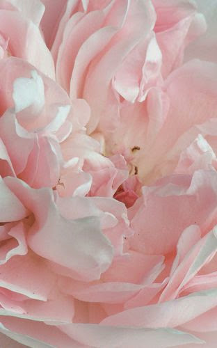 gorgeous pink peony