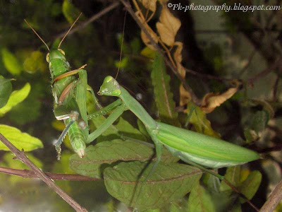 Praying Mantis with Prey