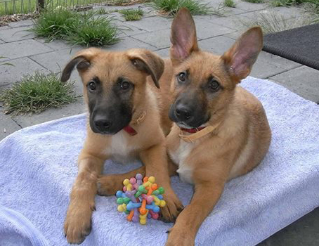 Belgian-Malinois-puppies-playing-with-puzzle-toy