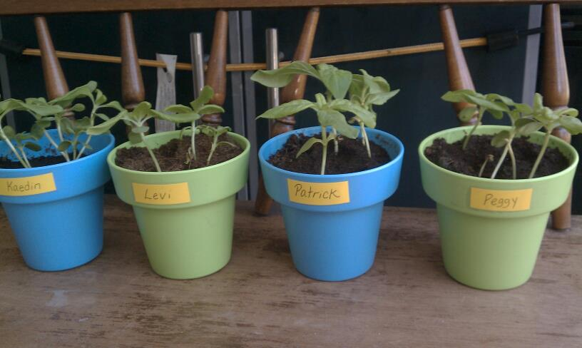Our Sunflowers At 34 Days