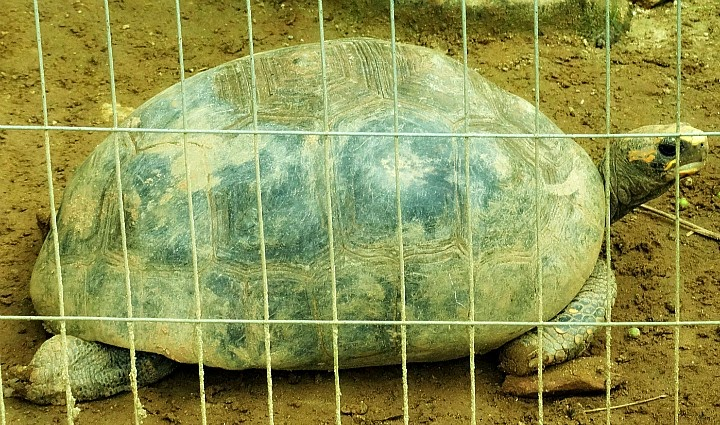 Jaboti no viveiro das tartarugas