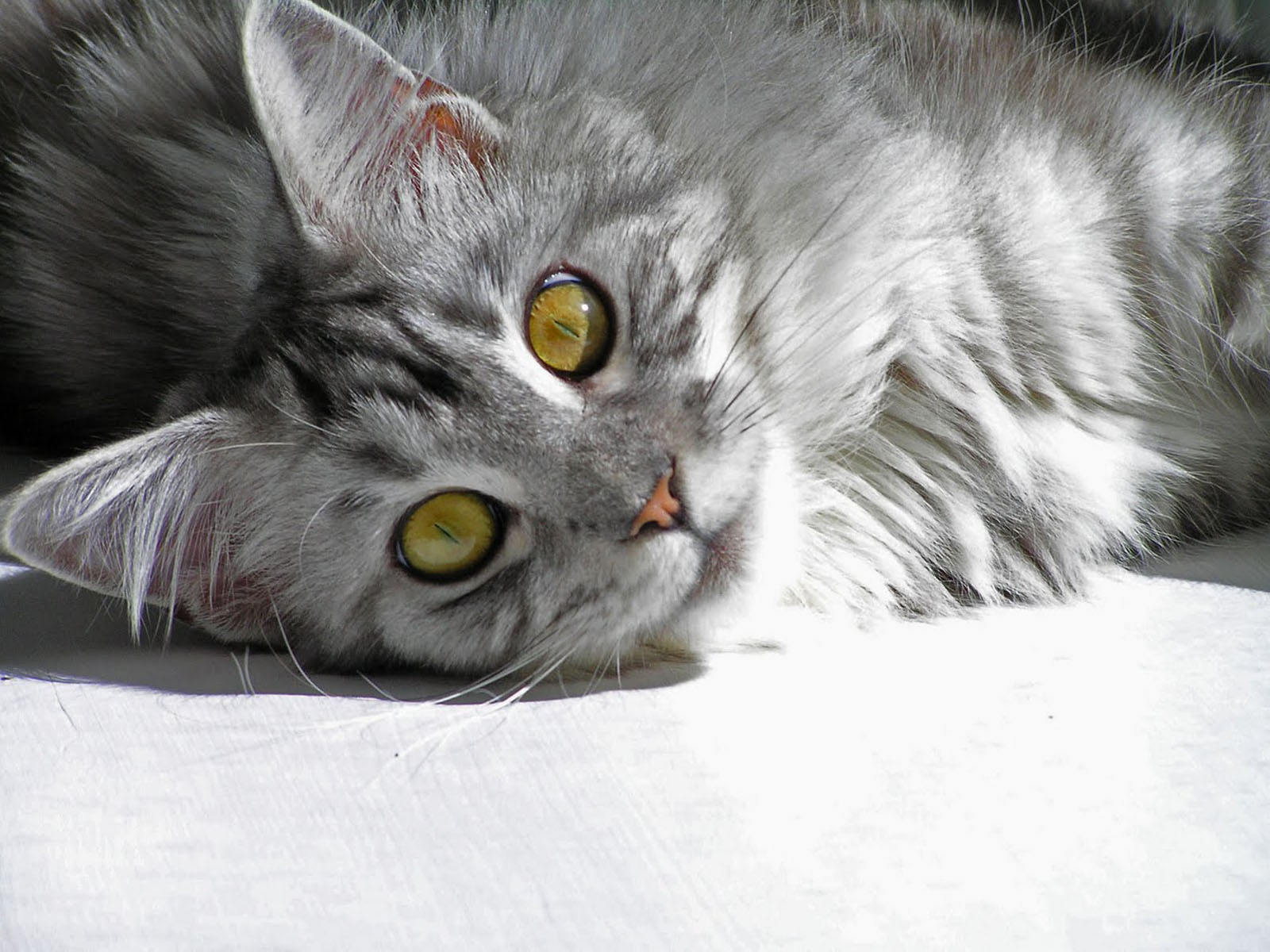 Cute Pikachu Hd Wallpapers Wallpapers Domestic Cat Maine Coon Silver