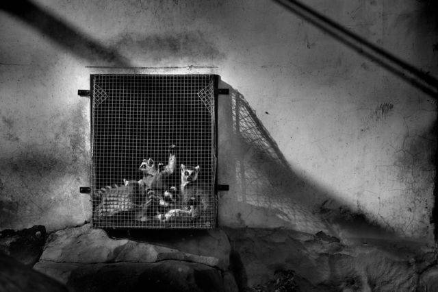 Lemur- korban kekejaman manusia pada hewan