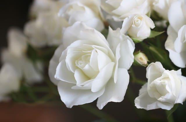 bunga mawar mega putih