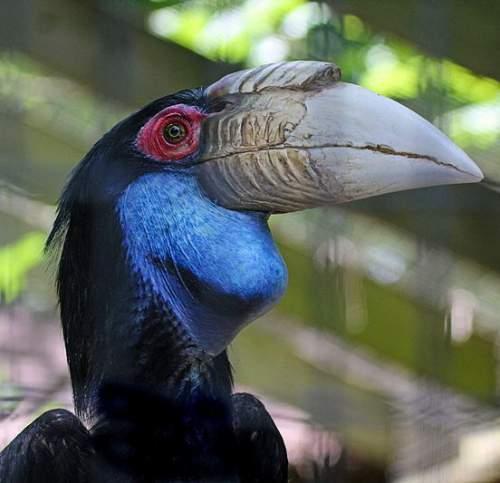 Birds of India - Photo of Wreathed hornbill - Rhyticeros undulatus