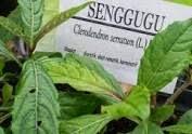 Dalam faramakologi Cina disebutkan bahwa tanaman ini bersifat pahit, pedas dan sejuk, dan mempunyai efek analgetika ( penghilang rasa sakit )