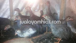 Ayam Mutiara Plangkok Usia 2 Bulan