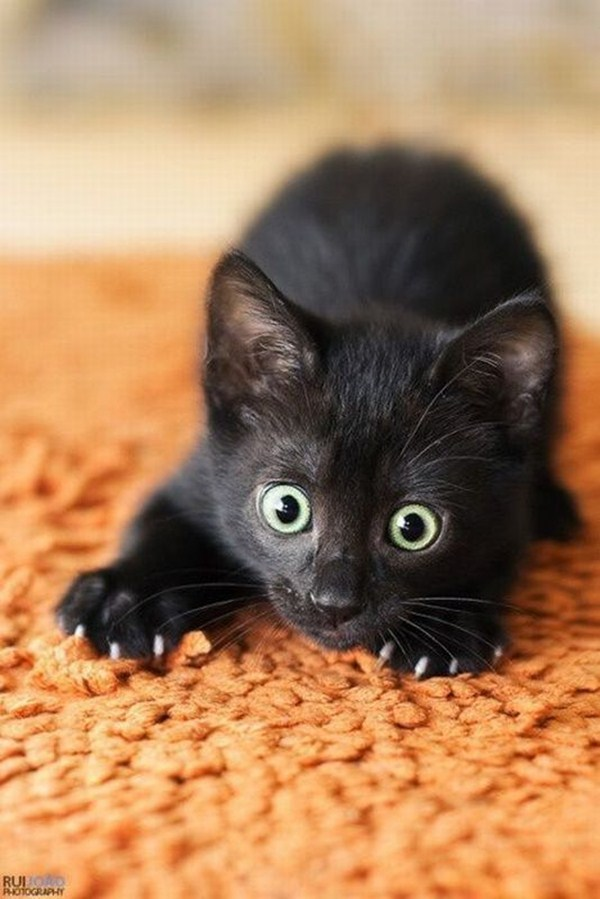 funny cats, cute cat pictures, black kitten