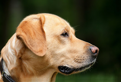 dog-labrador-light-brown-pet
