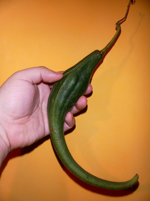 "The fruits can be 16"" (40cm) long"