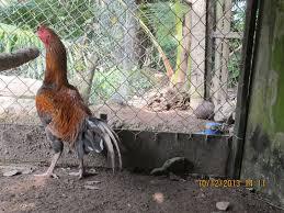 Ciri ayam bangkok asli