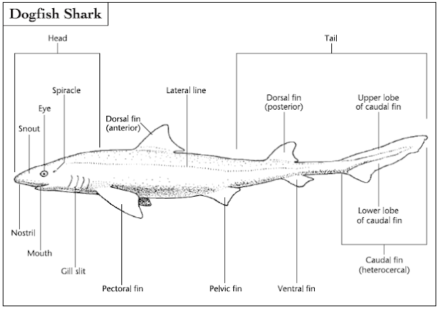 Typical shark external anatomy is displayed by the dogfish shark. Special sensory structures include the lateral line and the ampullae of Lorenzini, located inside the snout.