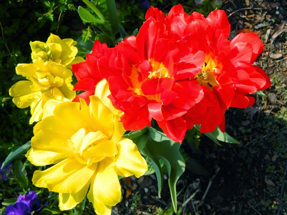 Red yellow tulips James Gardens Etobicoke by garden muses-not another Toronto gardening blog
