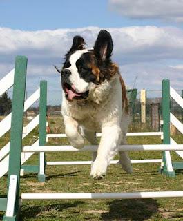 """Seu cão deve demonstrar afeição pelo adestrador. Se o cão é independente, mas demonstra medo do profissional, há grandes chances dele estar sendo maltratado durante as aulas.    Acompanhe sempre que possível as aulas de adestramento. De nada adianta seu cão obedecer somente ao adestrador. O profissional consciente ensina o cão e o dono. Sim, o dono também precisará ser """"adestrado"""" para saber dar ordens ao seu cão.   ADESTRAMENTO - QUEM AMA EDUCA!   As escolas de adestramento são uma boa opção. Nesse caso, grupos de animais, juntamente com seus donos, participam de aulas coletivas ou individuais. A vantagem do adestramento coletivo é que o cão aprende a conviver com outros animais (socialização)."""