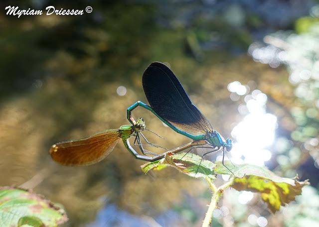 cœur de demoiselles Calopteryx virgo sur le ruisseau du Sant Montagne Noire Tarn