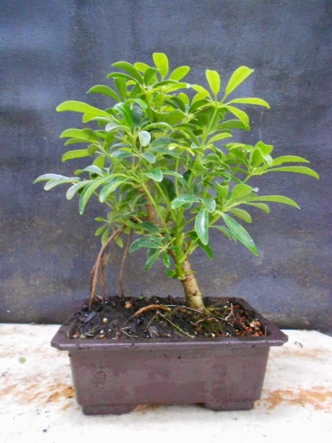 Bonsai Beginnings Shefflera Arboricola