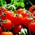 Does Tomato contain Vitamins?